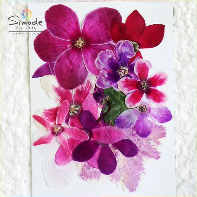 【S-635】押し花 シクラメンミックス10枚入り飛騨のお花屋さんが手作りしています。安心安全の国産品質です。