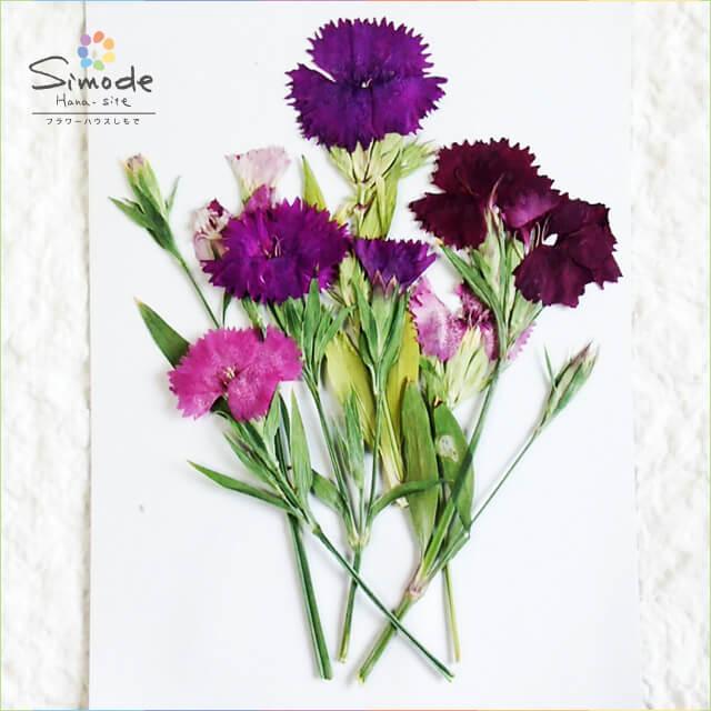 【S-640】押し花 ナデシコ10本(なでしこ・撫子)レジンアクセサリー、スマホケース、ハーバリウム、キャンドルなどハンドメイド・DIY素材として人気です。飛騨のお花屋さんが手作りしています。すべて国産の安心品質です。