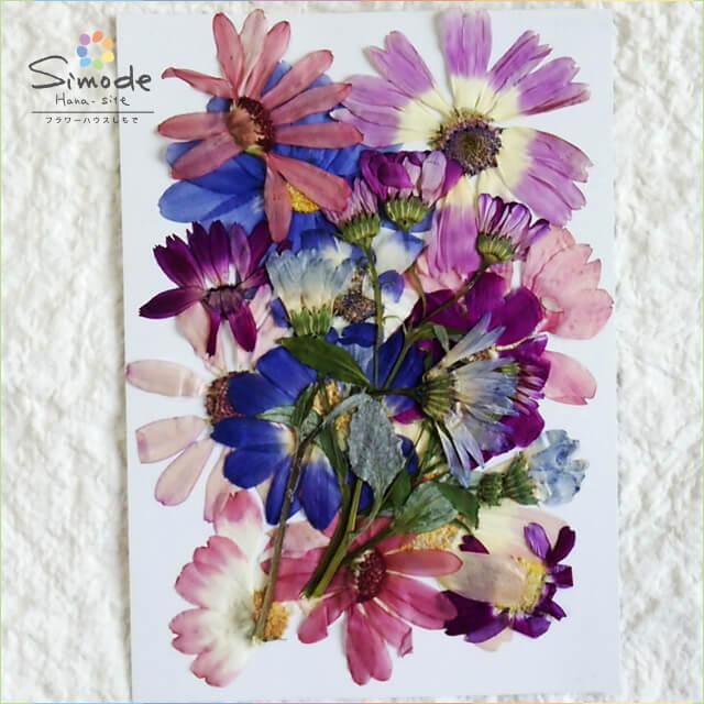 【S-643】押し花 サイネリアミックス10枚さまざまなカラーやサイズが詰まってます。ハーバリウム、レジン、キャンドルなどのハンドメイド・DIY素材に。飛騨のお花屋さんが手作りしました。安心安全の国産素材です。