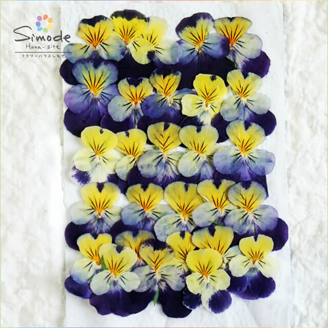 【S-645】パンジー小(ビオラ)黄紫25枚押し花素材、押し花パックを飛騨で手作りしています。国産品の安全品質です!