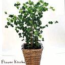 (観葉)季節の花鉢シリーズ『ベンジャミン』ベンジャミン バロック【送料無料】ギフト 育てやすい 観葉植物/インテリア…