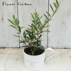 (観葉)【あす楽】オリーブ 3号×カップ オリーブの木 ミニ ギフト 観葉植物 苗木 鉢植え 誕生日 開店 引越し 祝い 新築祝い インテリア FKTK