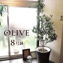 【あす楽】『貴宝園 オリーブ 8号 かご付き 選べる品種』 苗木 大型 おしゃれ ギフト 観葉植物 オリーブ オリーブの…