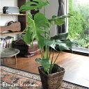 【緑のインテリア】観葉植物『選べるモンステラほか観葉植物』高さ50センチ〜インテリア 鉢植え 開店 引越祝 新築祝い…