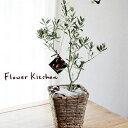 (観葉)オリーブの木 オリーブ 5号鉢 選べる鉢カバー 観葉植物 ギフト プレゼント 贈答品 【楽ギフ_包装】【即日発送】…