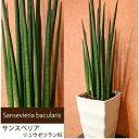 サンスベリア バキュラリス サンセベリア 多肉植物 マイナス