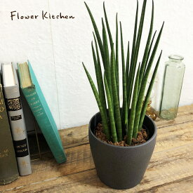 【あす楽】『 サンスベリア + IKEA PERSILLADE 陶器鉢』【送料無料・一部地域を除く】 バキュラリス ミカド サンセベリア IKEA イケア 陶器鉢 ギフト 育てやすい 観葉植物 誕生日 お祝い FKTK