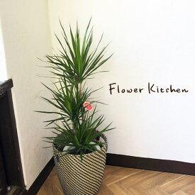 (観葉)『 ドラセナコンシンネ7号+IKEAカゴ 』北欧スタイル イケア IKEA の カゴセット 観葉 【送料無料】ギフト 観葉植物 インテリア 鉢植え 開店 祝 引越祝 新築祝い 誕生日 FKTK