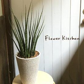 (観葉)【あす楽】『 サンスベリア7号 選べる3品種 』デザルティ マライカ ファーンウッド サンセベリア 希少種 ギフト 育てやすい 観葉植物 誕生日 引越 祝 新築祝い FKTK