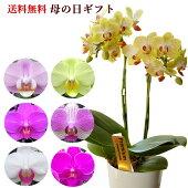 母の日選べるミディ胡蝶蘭8種類