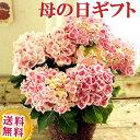\遅れてごめんね/ 【あす楽】 母の日ギフト おまかせピンクあじさい5号鉢【紫陽花】【鉢植え】 母の日 2021 お祝い …