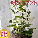 \遅れてごめんね/ 【あす楽】 母の日プレゼント 贈り物 花鉢 マダガスカルジャスミン 4号鉢 マダガスカルジャスミン…