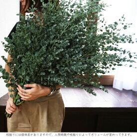 送料無料 選べるインテリアグリーン ユーカリ クジャクヒバ コットン 5本セット枝物 植物 生花 サイズ70〜80cm程度 5本インテリア ナチュラル ギフト 枝 切り花 ボタニカルライフ FKTK 送料無料 (一部地域を除く)