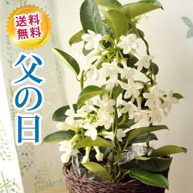 あす楽 \まだ間に合う/ 父の日プレゼント 贈り物 花鉢 マダガスカルジャスミン 4号鉢 マダガスカルジャスミン いい香り かわいい白い花 花鉢 送料無料 ボリューム満点でお届け 2021 御祝 お祝い プレゼント ギフト FKPP 沖縄県・離島お届け不可