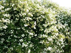 八重咲もっこうバラ 3号ポット白いバラで、清楚なホワイトガーデンを★八重咲モッコウバラ【ホワイト】 3号ポット