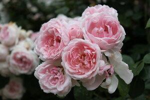 シンデレラ【京成バラ園】オールドローズの四季咲き品種です。黒星病に強い丈夫な品種です【京成バラ園】【クライミングローズ(つるバラ)】