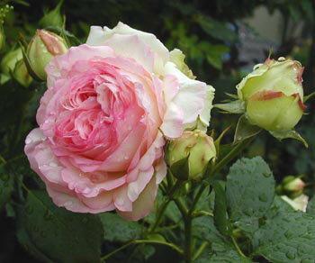 ピエール ドゥ ロンサール【京成バラ園】クラシカルな花姿繊細な色合いがが美しい品種です。【京成バラ園】【クライミングローズ(つるバラ)】
