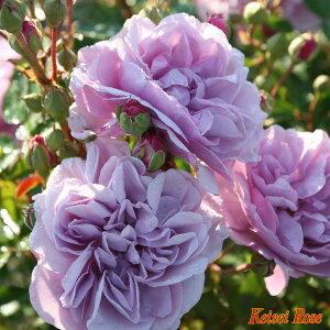 レイニー ブルー【京成バラ園】やさしい藤色の花を咲かせる品種です丈夫で育てやすくベランダなどでのプランター栽培にも適しています。【京成バラ園】【クライミングローズ(つるバ