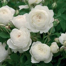 ※12月中旬より順次出荷予定※クレア・オースチン【イングリッシュローズ】レモン色のつぼみから、咲くにつれてゆっくりとクリーミーホワイトへと変わっていきます。つるバラとして育てることも可能です!バラ 薔薇 大苗 デビッドオースチン