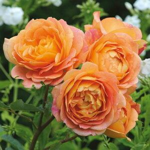 レディー・オブ・シャーロット【イングリッシュローズ】病気に非常に強く、バラ初心者さんにもおすすめな品種です♪バラ 薔薇 大苗 デビッドオースチン