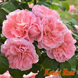 桜衣(さくらごろも)【京成バラ園】2019年新品種!可愛らしいピンクの花姿で、花付きの良い品種です【京成バラ園】【クライミングローズ(つるバラ)】
