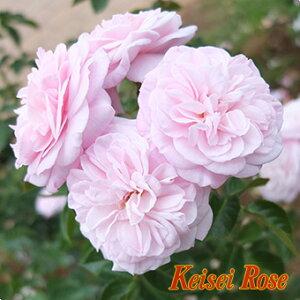 エンジェルハートオールドローズの雰囲気を持つやさしいピンク色お花はとっても可憐です!黒点病・うどんこ病に強い品種です【京成バラ園】【クライミングローズ(つるバラ)】