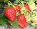 【いちご】手軽で簡単に栽培できます!ビタミンCが豊富お肌つるつる風邪ひかず♪有名品種のイチゴの苗