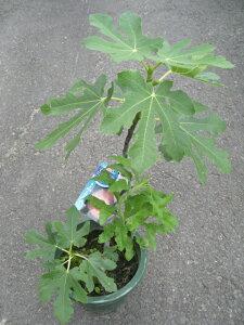 いちじくの苗 【ゴールドファイガー】 4号鉢強健な植物なので、手軽に栽培できます!糖度が高く最高に甘いです!!有名イチジク苗各種♪ 4号鉢