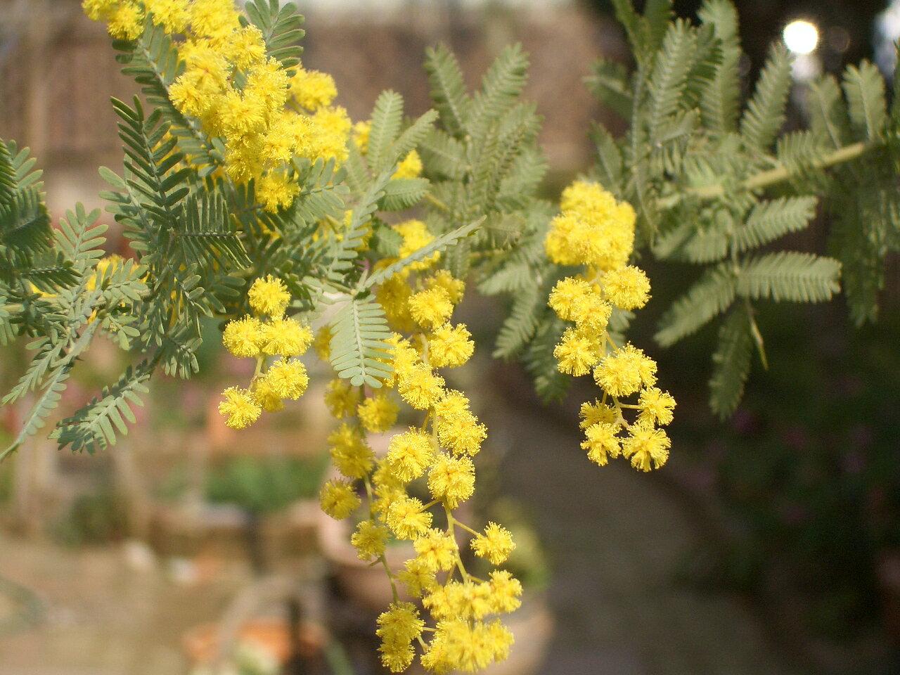 ミモザアカシア黄色いポンポンのお花がお庭を明るくしてくれます!!ミモザアカシア 3.5号ポット