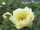 シャクヤク珍しい、黄色の花色です。華やかな黄色がお庭を明るくしてくれます♪高級シャクヤク オリエンタルゴールド…