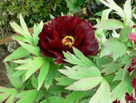 牡丹 黒光司深い暗紅色の花色は、マニアからの支持絶大です!牡丹 黒光司【黒花系ボタン】
