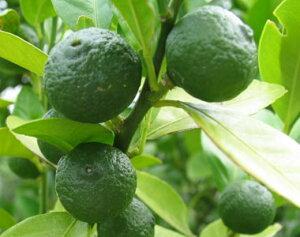 シークワーサー4号 血糖値を下げる【ノビレチン】が他柑橘の12倍含まれています!美容・がん予防・疲労回復などなど・・栄養素たっぷり!シークヮーサー 接ぎ木1年生 果樹 柑橘 家庭