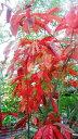 スズランの木  3.5号ポット世界三大紅葉樹のひとつです♪耐寒性・耐暑性に優れた育てやすい木です!スズランに似た…