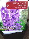 デルフィニウムの苗 【アストロット】 大輪八重咲きでボリュームいっぱい★ デルフィニュームの苗【アストロット】…