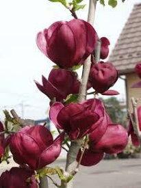 2度咲きモクレン【ジェニー】4号ポット平安時代から愛されてきた定番庭木のひとつです!シンボルツリーにもおすすめです♪2度咲きモクレン【ジェニー】4号ポット【木蓮】