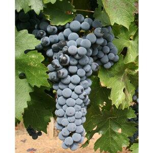 【山ブドウ】ヤマソービニオン 5号ポット自分で育てたぶどうで自家製ワインを作ってみませんか??日本自生のヤマブドウと、最高級ワイン用ブドウのカベルネ・ソヴィニョンを交配して