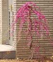 アメリカハナズオウ 低木 花 庭木 ガーデニング 紅葉樹 アメリカハナズオウの苗【トラベラー】6号ポットピンクの…