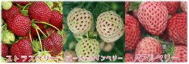 【いちご】手軽で簡単に栽培できます!フランスのベーカーズベリー社が手掛けた素敵なフレーバーのイチゴ苗です♪特有の風味をご賞味あれ!!ベーカーズベリーのイチゴの苗 【果実 苗物 食用】