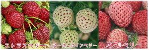 【いちご】手軽で簡単に栽培できます!フランスのベーカーズベリー社が手掛けた素敵なフレーバーのイチゴ苗です♪特有の風味をご賞味あれ!!ベーカーズベリーのイチゴの苗 【果実