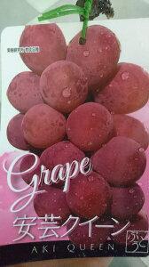 【ブドウ】安芸クイーン4号ポット巨峰並みの大きな果粒で糖度の高い品種です!酸味が少なく、果汁が豊富♪安芸クイーン 4号ポット【実無し】【葡萄】【ぶどう】