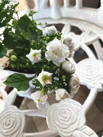 八重咲きカンパニュラ【ホワイトライクミー】 3.5号ポット 耐寒性があり冬も大丈夫