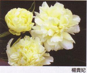 シャクヤクその名のごとく、美しい黄色のお花です華やかに咲き誇る花姿は何とも言えません♪高級シャクヤク  楊貴妃 4号ポット 【芍薬】