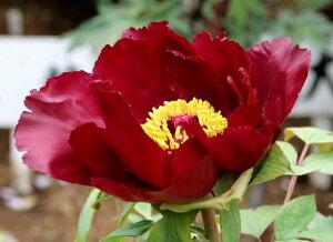 牡丹黒紅色の八重咲き品種♪外側の花弁に白の覆輪が出ます♪牡丹 墨の一 【黒花系ボタン】