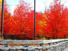 サトウカエデ【シュガーメイプル】紅葉が美しく、シンボルツリーとして人気上昇中♪カナダの国旗・メープルシロップで有名な植物です!!自家製メイプルシロップを作りませんか★サトウカエデ【シュガーメイプル】5号鉢