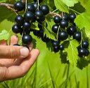 ジャンボカシス【チタニア】5号ポット低木で見付きがよく、耐寒・耐病性に優れた育てやすい品種です♪ポリフェノール…