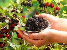 四季成りマルベリー【シャルロットリュス】3.5号ポットポリフェノール、ビタミン、カルシウム、鉄分…!桑の実と桑葉は栄養たっぷりの健康植物です!低木タイプで庭植えでも場所を取りません♪四季成りマルベリー【シャルロットリュス】3.5号ポット