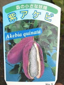 紫あけびの苗 4号ポットあま〜い実はもちろん、新芽や果皮を食べたり、ツルを活用したりなどたくさん活用できる植物です♪アケビ あけび 木通 果実 苗