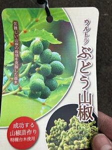 サンショウの苗【ウルトラぶどう山椒】4号ポットぶどうのように房成りで粒の大きい実が特徴です!香りが強く、爽やかな辛味!多湿・乾燥に非常に強く、育てやすい品種ですサンショウの