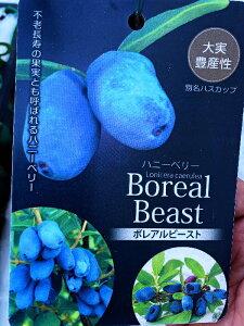 ハニーベリーの苗【ボレアルビースト】4号ポットブルーベリーの10倍の栄養素!!ポリフェノール、カルシウム、鉄分ビタミンが豊富で不老長寿の果実と呼ばれています♪ハスカップ 果樹