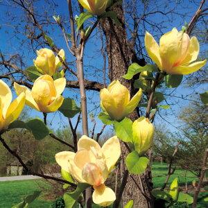 モクレン【サンセーション】4号ポットアメリカで育種された最新品種!花は大きく、黄金色にピンク色の縞模様が入る珍しい花色です。ウッズマンとエリザベスの交配種モクレン【サンセー